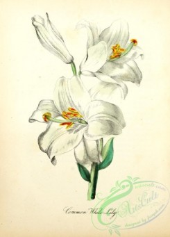 lilies_flowers-00910 - Common White Lily [1905x2650]