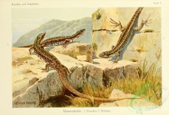 lizards_and_tritons-00005 - lacerta muralis