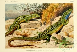 lizards_and_tritons-00006 - lacerta viridis