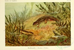 lizards_and_tritons-00011 - molge vulgaris