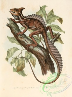 lizards_and_tritons-00027 - basiliscus mitratus