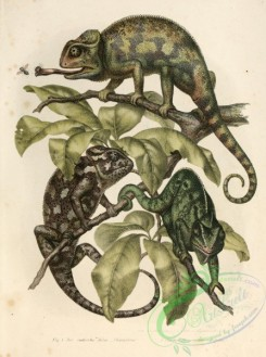 lizards_and_tritons-00028 - chameleon coromandelieus