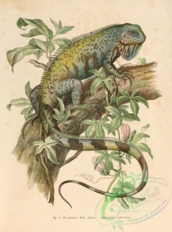 lizards_and_tritons-00038 - hypsilophus tuberculatus