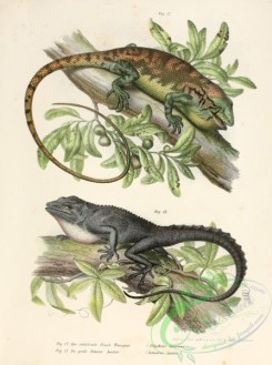 lizards_and_tritons-00047 - polychrus virescens, semiurus luvieri