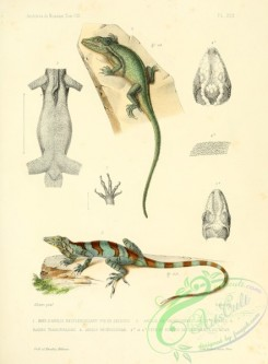 lizards_and_tritons-00064 - anolis