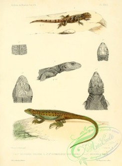 lizards_and_tritons-00068 - holotropide, phymatolepide, sauromale