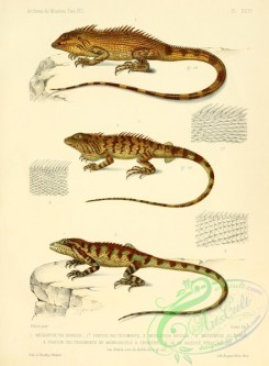 lizards_and_tritons-00069 - mecolepide