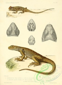 lizards_and_tritons-00070 - ophryessoide, leiosaures, centrures