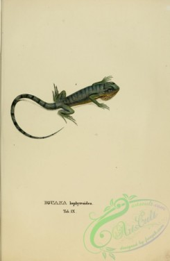 lizards_and_tritons-00075 - iguana lophyroides