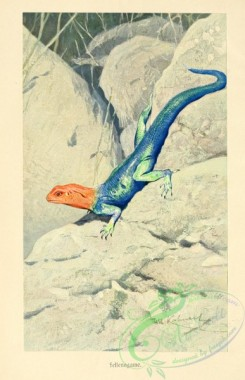 lizards_and_tritons-00087 - agama planiceps