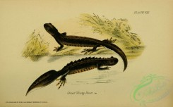 lizards_and_tritons-00107 - Great Warty Newt