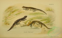 lizards_and_tritons-00109 - Smooth Newt