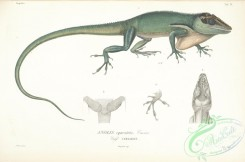 lizards_and_tritons-00118 - anolis equestris