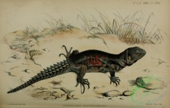 lizards_and_tritons-00140 - ctenosaura erythormelas