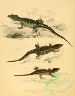 lizards_and_tritons-00145 - cordylus microlepidotus, 2
