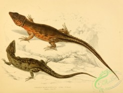 lizards_and_tritons-00147 - cordylus microlepidotus