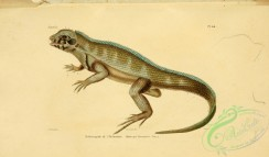 lizards_and_tritons-00169 - holotropis herminieri