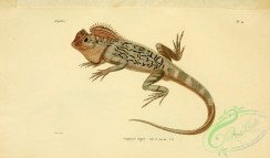 lizards_and_tritons-00174 - lophyre tigre