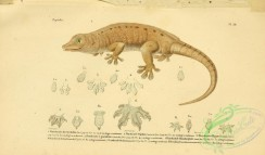 lizards_and_tritons-00178 - platycdactyle des seychelles