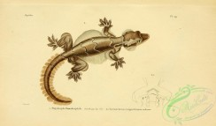lizards_and_tritons-00179 - platydactyle homalocephale