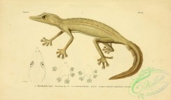 lizards_and_tritons-00181 - ptyodactyle raye