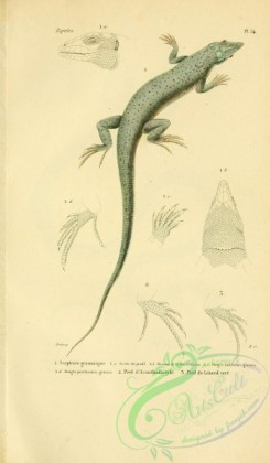 lizards_and_tritons-00182 - scapteire grammique