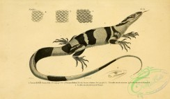 lizards_and_tritons-00191 - varanus bellii
