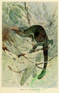 lizards_and_tritons-00196 - African Chameleon