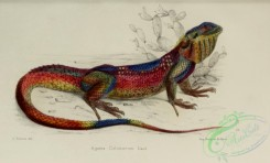 lizards_and_tritons-00227 - agama colonorum