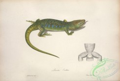 lizards_and_tritons-00237 - lacerta ocellata