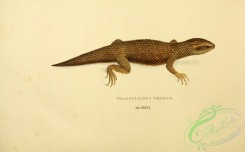 lizards_and_tritons-00256 - trachysaurus peronii