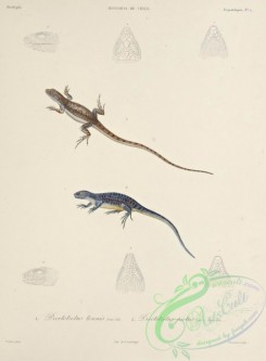 lizards_and_tritons-00259 - proctotretus tenuis, proctotretus pictus