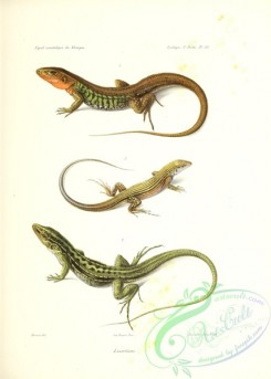 lizards_and_tritons-00263 - 011-lacerta