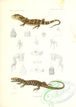 lizards_and_tritons-00264 - 012-Trachydermiens