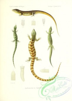 lizards_and_tritons-00265 - 013-Cyclosauriens, Amphisbeniens