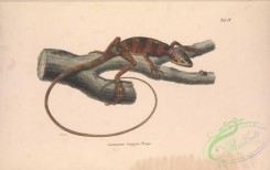 lizards_and_tritons-00269 - 004-laemanctus longipes