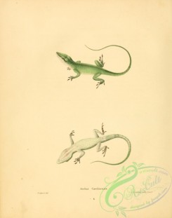 lizards_and_tritons-00279 - anolius carolinensis