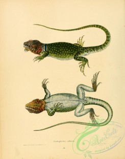 lizards_and_tritons-00280 - crotaphytus collaris