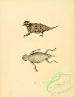 lizards_and_tritons-00284 - phynosorna orbiculare