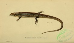 lizards_and_tritons-00289 - gerrhosaurus lineatus