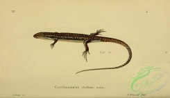 lizards_and_tritons-00290 - gerrhosaurus ocellatus