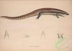 lizards_and_tritons-00295 - scincus mulleri