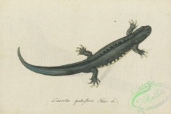 lizards_and_tritons-00309 - lacerta palustris