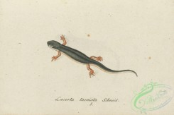 lizards_and_tritons-00310 - lacerta taeniata, 2