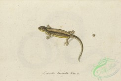 lizards_and_tritons-00311 - lacerta taeniata, 3