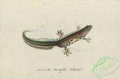 lizards_and_tritons-00312 - lacerta taeniata