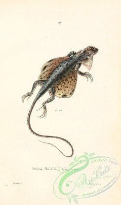 lizards_and_tritons-00318 - draco pardalis