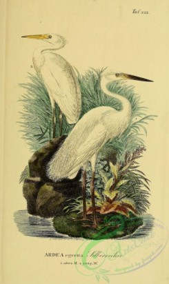 long_legged_birds-00003 - Great White Egret or White Heron