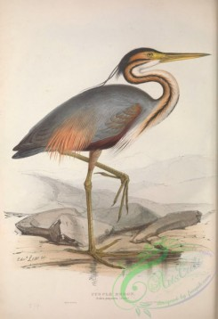 long_legged_birds-00117 - PURPLE HERON