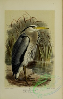 long_legged_birds-00124 - COMMON HERON